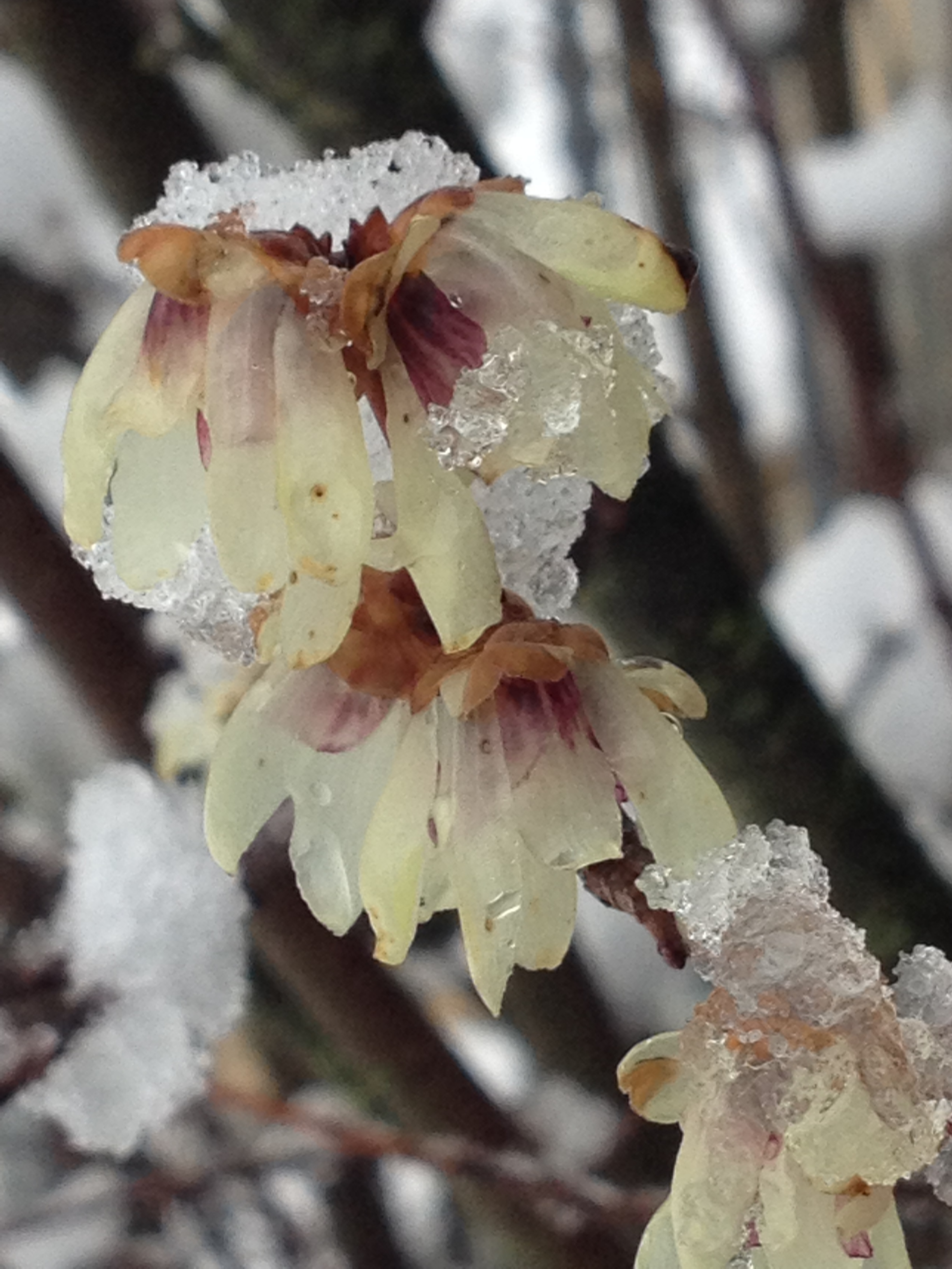 Calicanto Fiore D Inverno il calicanto, chimonanthus praecox dai profumati fiori di