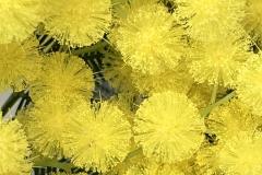 suffici piume ...no mimosa