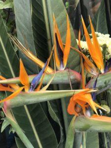 Fiori Uccelli Del Paradiso.La Strelitzia Reginae Detta Uccello Del Paradiso Ed I Giardini