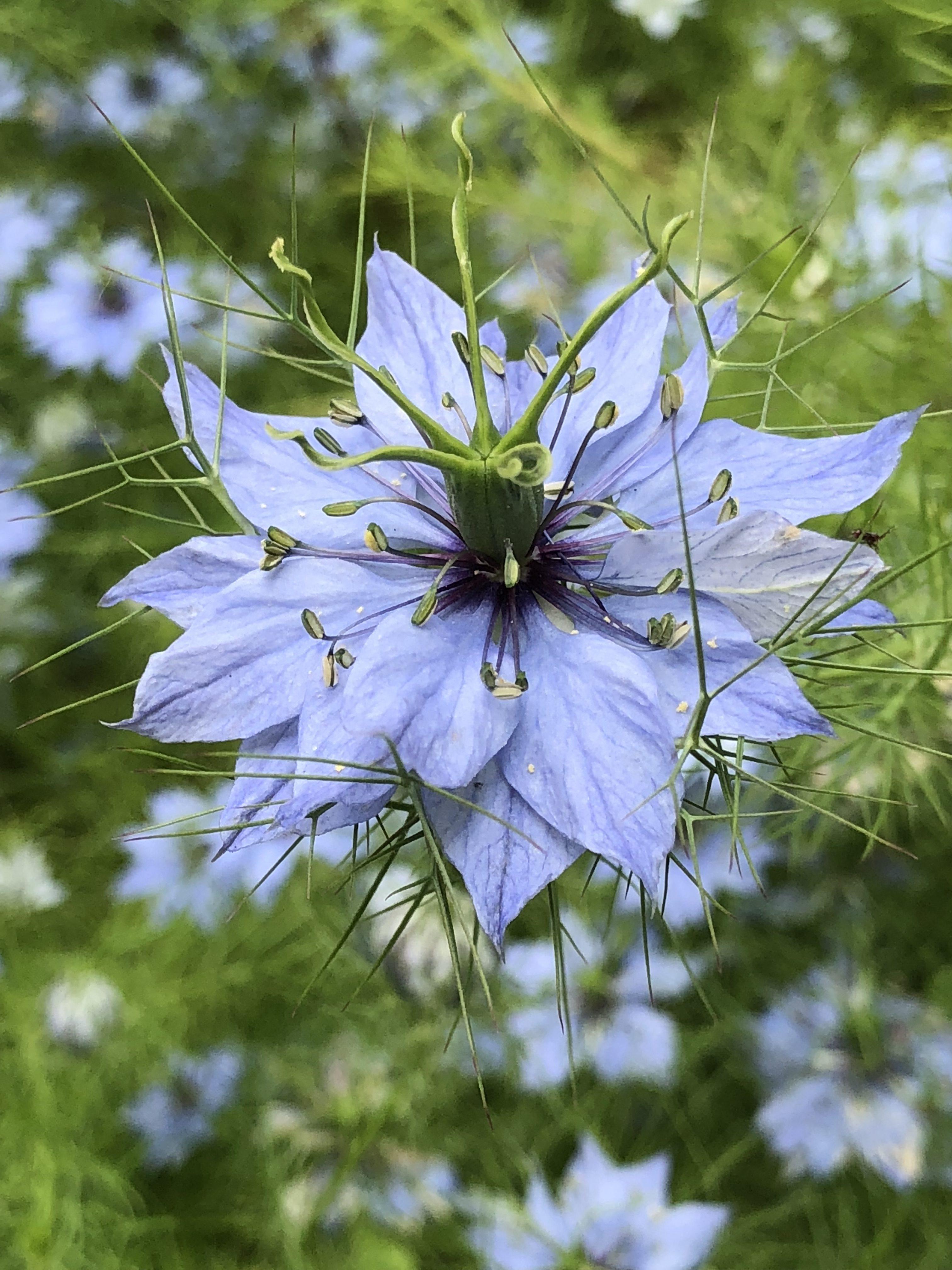Fiori Selvatici Foto E Nomi nigella damascena, un fiore dal colore del cielo - natura in