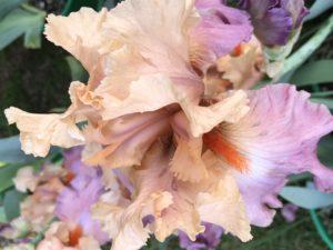 primo piano del fiore di iris barbata