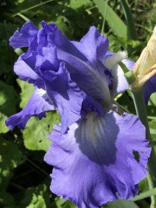 iris barbata foto dall'alto