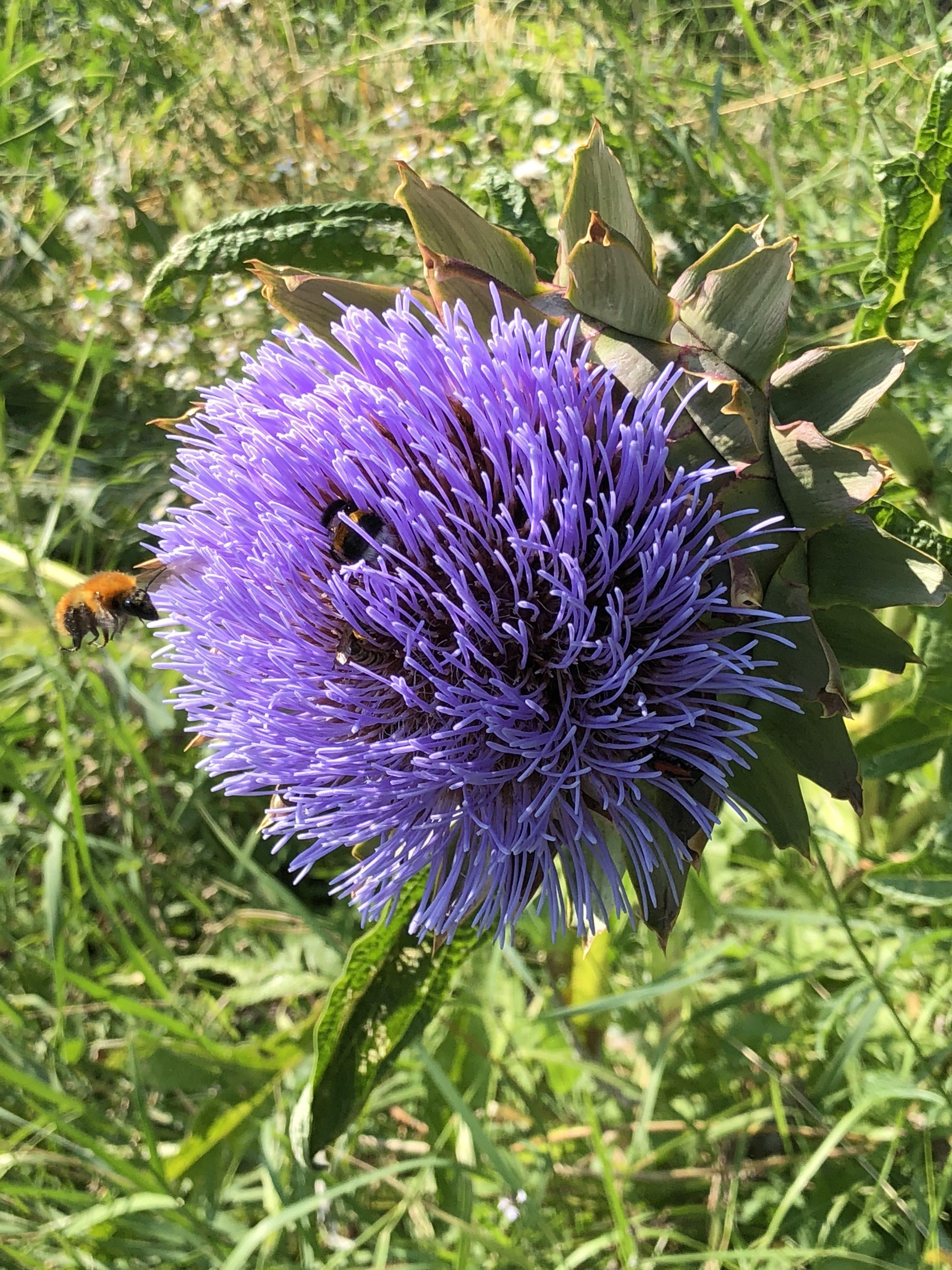 Fiori Selvatici Foto E Nomi carciofo, un fiore in tisane disintossicanti - natura in