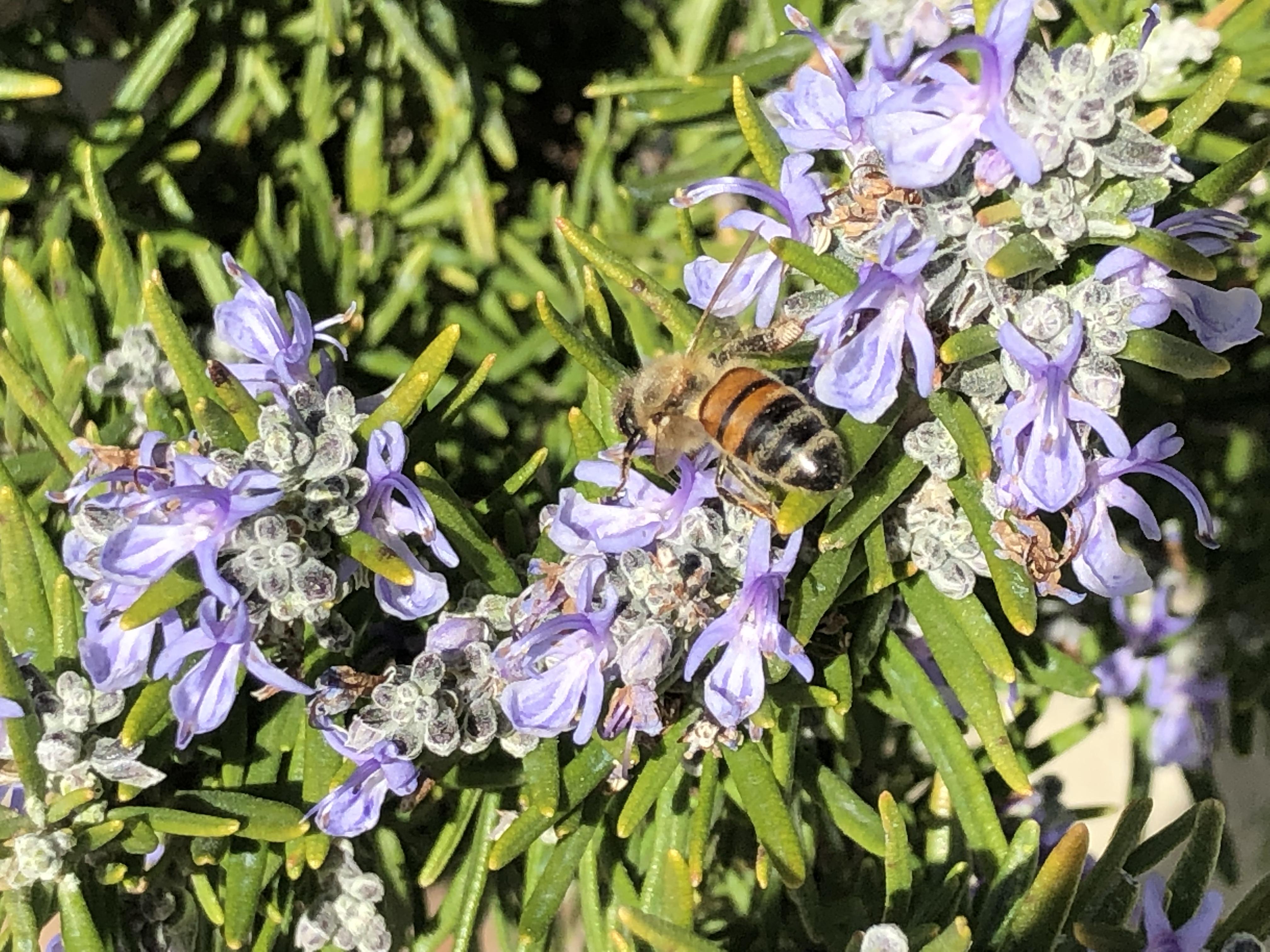 Pianta Simile Al Rosmarino rosmarino officinalis, potere aromatico anche nei fiori