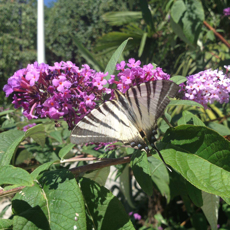 Albero Di Lillà buddleja, albero delle farfalle, con il podalirio è la